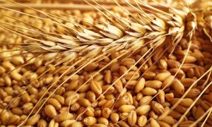 wheat_grain