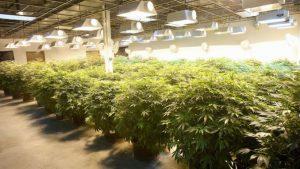Cannabis Lights